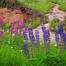Minnesota Wild Lupine by by Marvil LaCroix