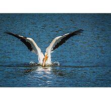 White American Pelican Photographic Print