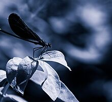 Damsell Fly on a Leaf by Nazareth