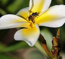 Visiting The Plumeria Blossom by Heather Friedman