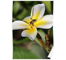 Visiting The Plumeria Blossom Poster