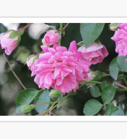Pink wild roses Sticker