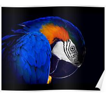 Blue and Gold macaw portrait with beautiful colour Poster