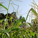 Corn by Tracey Hampton