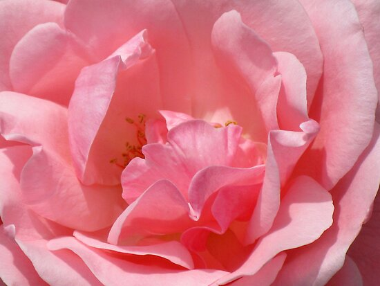Pink Rose of Happiness by Marilyn Harris