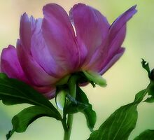 Peony - Soft Light by T.J. Martin