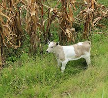 Young Calf Next to a Corn Field by rhamm
