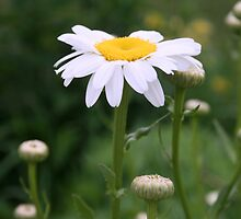 White Shasta Daisy With Buds by kkphoto1