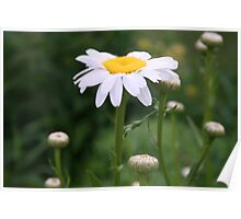 White Shasta Daisy With Buds Poster