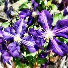 Clematis on a Stone Wall by Susan Savad