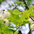 Butterfly On Buttonbush by Cynthia48