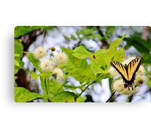 Butterfly On Buttonbush Canvas Print