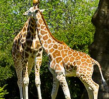 Giraffe mom and baby by RandyHume
