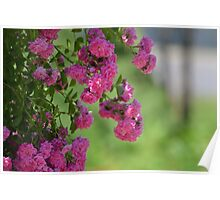 Pink Garden Roses Poster