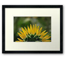 Half Sunflower in bloom Framed Print