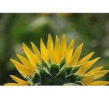 Half Sunflower in bloom Photographic Print