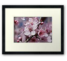 Cherry Blossom Flowers Framed Print