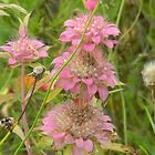 Lovely Pink Bee Balm by Navigator