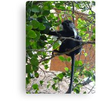 Colobus Monkey eating leaves in a tree - full body Canvas Print