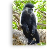 Colobus Monkey sitting in a tree 2 Canvas Print
