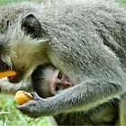 GROWN-UPS ALWAYS GETS THE BEST - Vervet Monkey, (CERCOPITHECUS PYGERYTHRUS) BLOU AAP by Magaret Meintjes