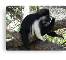 Colobus Monkey resting in a tree Canvas Print