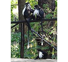 colobus monkeys picking fleas Photographic Print