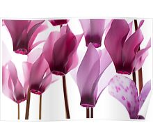 backlit violet petals (Cyclamen) on a lightbox Poster