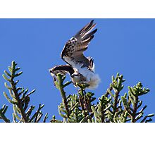 The Osprey Dance Photographic Print