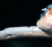 Chaffinch in the sunlight Sticker