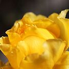 Yellow Royal Rose by Joy Watson