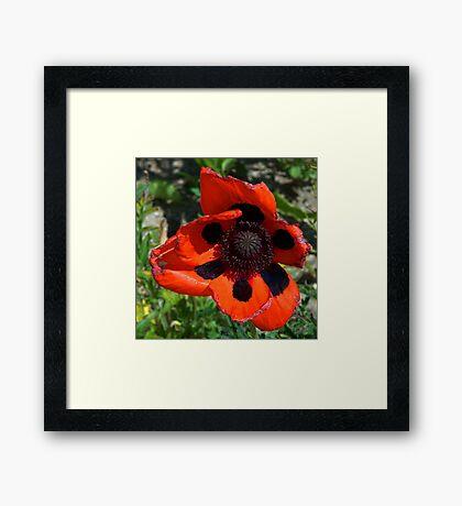 Poppy in the sun Framed Print