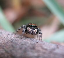 Once Upon a Jumping Spider by CLaceyNaturArts