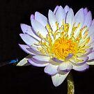 Dragonfly Lily by wildimagenation