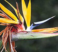 Bird of Paradise by Kelly Walker