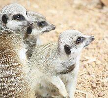 Meerkats! by Kelly Walker