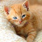 Kitten on blanket by GreyFeatherPhot