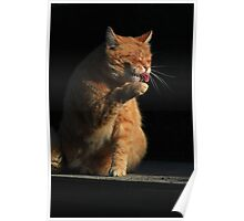 Ginger cat licking paw Poster