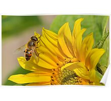 Hoverfly on Sunflower Poster