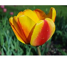 Two~toned Tulip Photographic Print