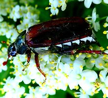 May Beetle on Elderflower by ©The Creative  Minds