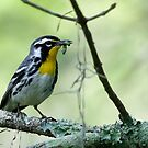 yellow throated warbler by Dennis Cheeseman