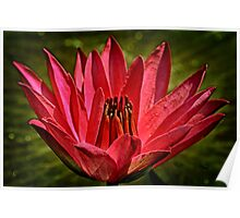 Water Lily in Red Poster