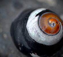 Black Turban Snail by awanderingsoul