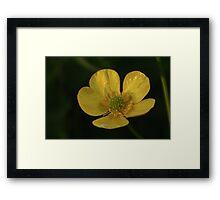 Evening Buttercup Framed Print