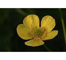 Evening Buttercup Photographic Print