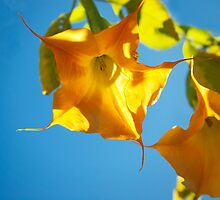 Yellow brugmansia, Yellow flower, Floral Photography, Nature,  by SammyPhoto