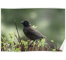 common grackle on the lookout Poster