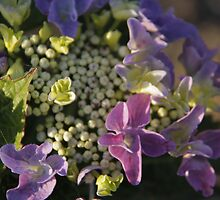 Hydrangea butterflies by liesbeth