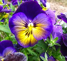 Pansy Angel by James Brotherton